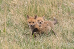 Adorable Red Fox kits pose