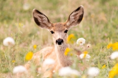 Mule Deer fawn among wildflowers