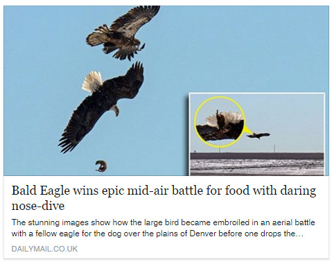 Bald Eagle battle featured in the Daily Mail. (Daily Mail)